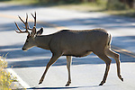 mule deer, buck, mulie, road, crossing, wildlife, animal, Bear Lake Road, Rocky Mountain National Park, Colorado, USA