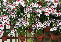 Stock photo: Stunning arrangement of white and pink orchids planters in rows hanging over wooden mesh fence.