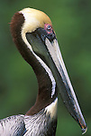 Brown Pelican, Everglades NP, Florida, USA