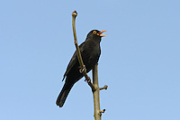 Blackbird - Turdus merula - male