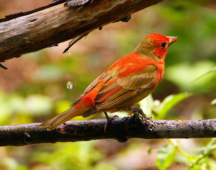 Male summer tanager molting to adult breeding plumage at Paradise Pond in April