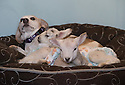 21/04/15<br /> <br /> Draughtsman lies back to the the young lambs warm up on him.<br /> <br /> Two &lsquo;sheep dogs&rsquo; are helping to pamper three orphaned lambs who think the dogs are their mum.<br /> <br /> The three orphaned  lambs, who wear nappies so they can have the run-of-the-house, like to snuggle up to the dogs and share their bed with them in the kitchen by the stove.<br /> <br /> Piper, an 11-year-old rhodesian ridgeback-cross and Draughtsman, an eight-year-old ex-hunting beagle, take turns looking after the week-old lambs who often try to suckle from their doting canine &lsquo;parents&rsquo;.<br /> <br /> Melissa Ebbatson, 21, said: &ldquo;These three were quite poorly, so we brought them inside so we could look after them better and give them a bit more warmth. We put them in nappies so they don&rsquo;t make a mess in the house.  One of the dogs was having a snooze on his bed and the lambs just jumped in and joined him. And they&rsquo;ve all become inseparable since then.<br /> <br /> &ldquo;The dogs like to clean the lambs&rsquo; faces after they&rsquo;ve had their bottles. And they enjoying romping around the place with them,&rdquo; said Melissa who helps to run Crossgates Farm, with her family near Tideswell in the Derbyshire Peak District.<br /> <br /> &ldquo;They seem to really care about them and go straight to them if they start bleating &ndash; they even come to find us if they think they&rsquo;re hungry.<br /> <br /> &ldquo;We change their nappies at least four-times-a-day - the baby boys even need to wear two!<br /> <br /> &ldquo;They are between seven and eight days old, and we hope to get them living back outside again when they are strong enough in another ten days or so &ndash; that&rsquo;s as long as the dogs let us!<br /> <br /> &ldquo;We&rsquo;re probably all a bit bonkers here but it all seems normal to us&rdquo;, she added.<br /> <br /> All Rights Reserved: F Stop Press Ltd. +44(0)1335 418629   www.fstoppress.com.