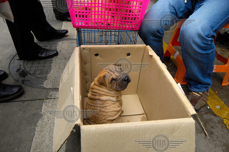 A Shar Pei puppy for sale as a pet on a street corner close to where dogs used to sold for food in Qingping Market. Pets are becoming more and more popular amongst China's middle class.