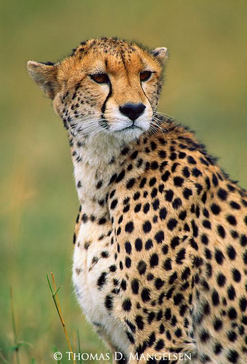 Portrait of a Cheetah in the Maasai Mara.