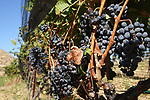 Cabernet Franc is one of the major black grape varieties worldwide. It is principally grown for blending with Cabernet Sauvignon and Merlot in the Bordeaux style, but can also be vinified alone,