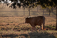 Frutal_MG, Brasil...Gado pastando em Frutal...The cattle grazing in Frutal...Foto: LEO DRUMOND / NITRO