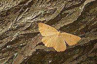 Schlehenspanner, Weibchen, Schlehen-Spanner, Pflaumenspanner, Pflaumen-Spanner, Angerona prunaria, orange moth, female, La Phalène du Prunier, la Phalène du Noisetier, Spanner, Geometridae, geometer moths, geometers