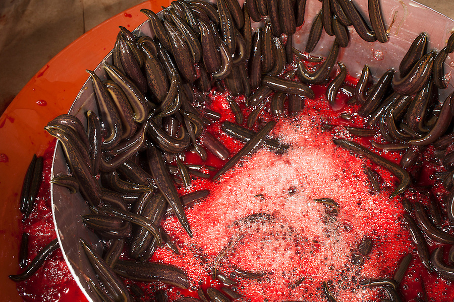 Udelnaya, Russia, 08/10/2012..Leeches filled with blood attempt to climb out of their feeding tray in the International Medical Leech Centre, the largest leech farm in the world.