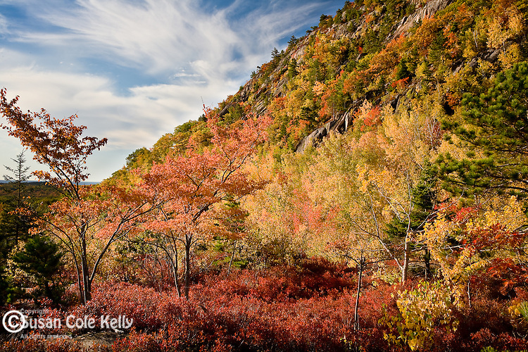 Autumn turns the huckleberries red on Champlain Mountain, Acadia National Park, ME, USA