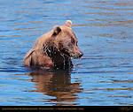 Alaskan Coastal Brown Bear Fishing with Sheepish Look, Silver Salmon Creek, Lake Clark National Park, Alaska