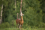 White-tailed doe winding  a scent