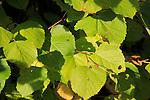 Leaves of Common Lime tree, Tilia x europaea, Suffolk, England, UK