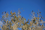 Israel, Sharon region, Cormorants on Eucalyptus trees by Hadera River
