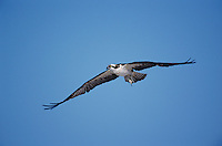 Osprey, Pandion haliaetus, adult in flight, Sanibel Island, Florida, USA, Dezember 1998