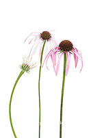 30099-00516 Pale Purple Coneflowers (Echinacea pallida) (high key white background)  Marion Co. IL