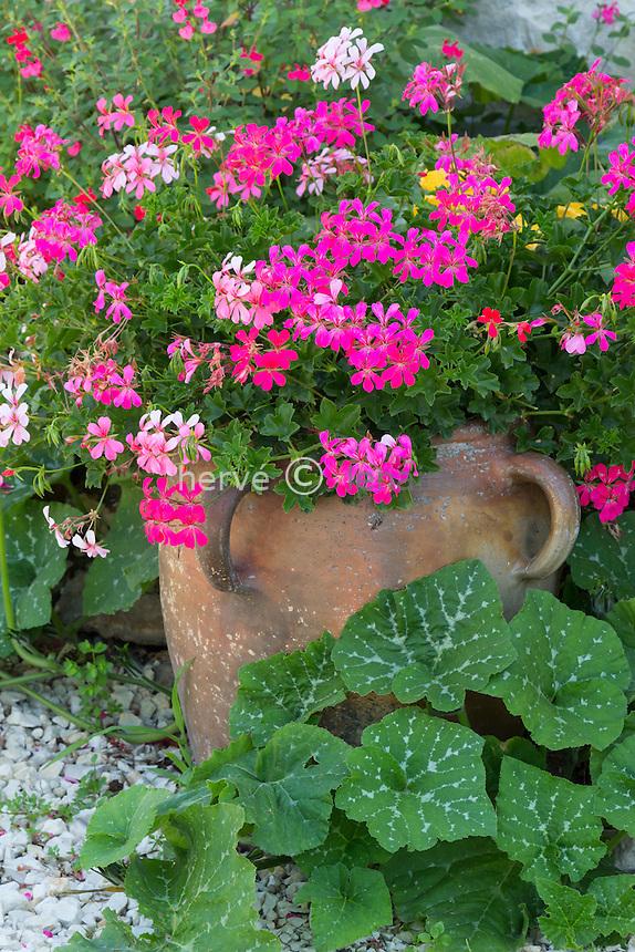 Pelargonium peltatum, or ivy-leaf geranium in a pot and squash leaves // Pot de pélargonium lierre et feuilles de courges.