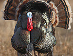 strutting tom turkey in full display in montana