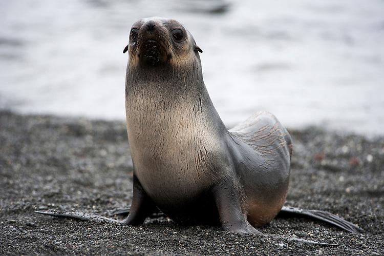 Antarctic fur seal (Arctocephalus gazella), Prion Island, South Georgia