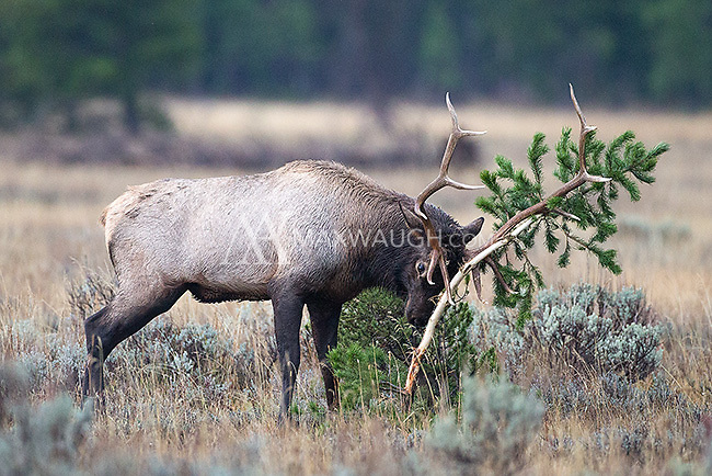 This bull elk was taking his frustrations out on this small pine tree.
