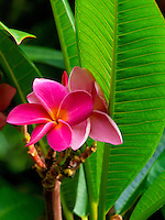Plumeria flowers and leaves on a tree