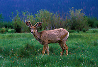 AJ1728, deer, Rocky Mountain National Park, Colorado, Rocky Mountains, A young male deer in velvet near Moraine.