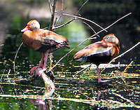 Pair of black-bellied whistling ducks resting at Paradise Pond