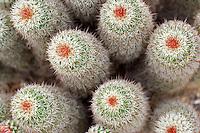 Cactus (Echinocereus fendleri). in Tucson Botanical Gardens. Tucson. Arizona