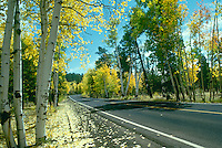 Black top road near Flagstaff Arizona on a perfect fall day with yellow aspen trees