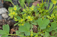 Alpengelbling, Alpen-Gelbling, Sibbaldia procumbens, Potentilla sibbaldii, Creeping Sibbaldia, Creeping Glow Wort, creeping glowwort
