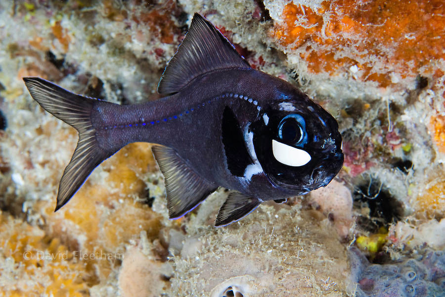 Flashlightfish, Photoblepharon palpebratus, Indonesia.