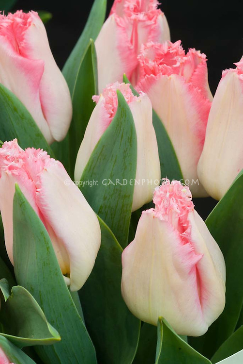 Fringed pink  tulips, Tulipa Lingerie Division 7
