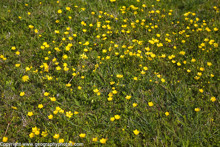 Buttercup, Ranunculus, yellow flowers growing in grass meadow, Suffolk, England