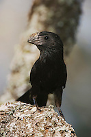 Groove-billed Ani, Crotophaga sulcirostris, adult, Willacy County, Rio Grande Valley, Texas, USA, June 2006