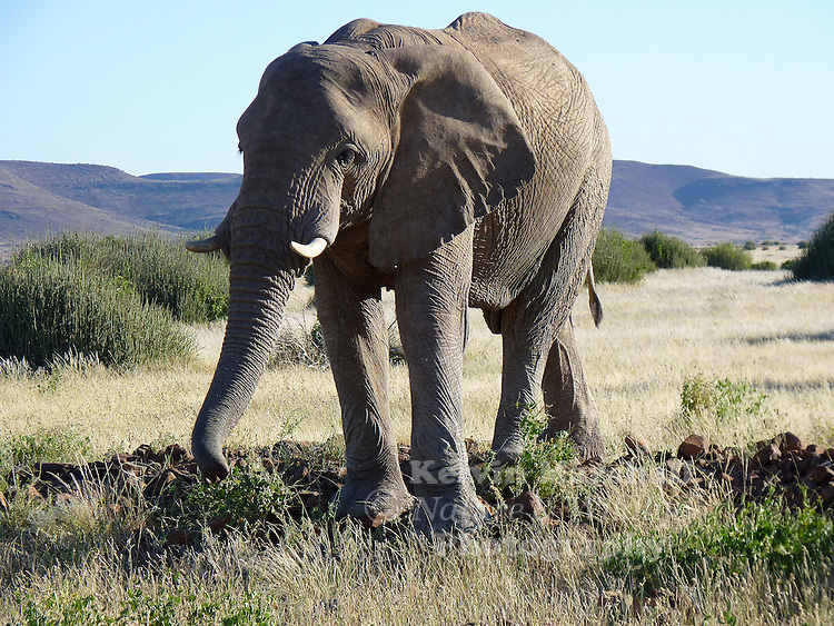 Desert-adapted elephants are found predominantly in the Kaokoland and Damaraland regions of north-west Namibia. Visitors to Namibia interested in a desert-adapted elephant experience could stay at Palmwag Rhino Camp, a lodge that places a strong emphasis on viewing these particular animals...
