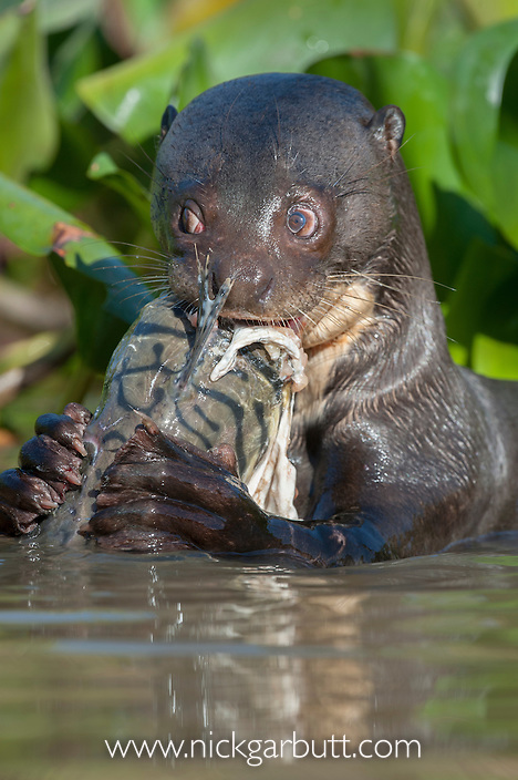 Giant River Otter (Pteronura brasiliensis) feeding on Striped Catfish or Cachara (Pseudoplatystoma fasciatum) amongst water hyacinth. Sidesteam off the Cuiaba River, Mato Grosso, Pantanal, Brazil.