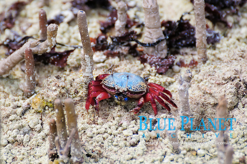 Fiddler Crab (Uca tetragonon) without fully grown claws, Curieuse Island, Seychelles, Africa
