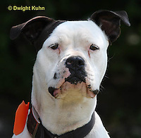 SH40-634z  American Bulldog, Close-up of face,  Canis lupus familiaris