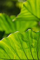 A close-up of taro or kalo leaves, Waimea, O'ahu.