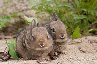 Wildkaninchen, Wild-Kaninchen, Kaninchen, Jungtier, Tierkind, Tierbaby, Tierbabies, Oryctolagus cuniculus, Old World rabbit