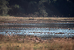 Ducks, Willapa Bay, Bone River, Washington State, Pacific Northwest, USA, Pacific flyway,