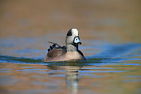 American Wigeon (Anas americana), male in breeding plumage swimming in a pond in Papago Park in Phoenix, Arizona.
