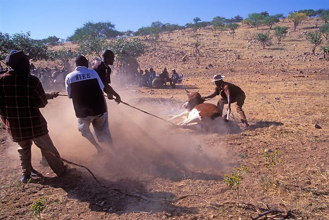 Funeral preparations include capturing a cow for the feast in the remote Himba village of Okohimu in Namibia, Africa.