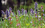 Ajuga Wildflowers in Spring, Connecticut