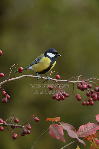 Great Tit (Parus major), adult perched on berry laden branch of European cranberrybush (Viburnum opulus), Oberaegeri, Switzerland, Europe