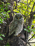 Great gray owl fledgling. Grand Teton National Park, Wyoming.