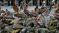 Gathering of California Brown Pelicans in winter plumage at Moss Landing.