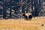 Grizzly Bear, Brown Bear, Sylvan Lake, Yellowstone National Park, Wyoming