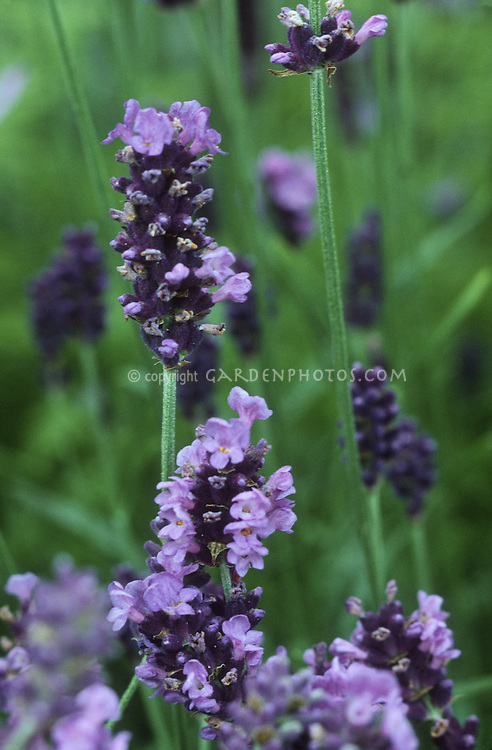 lavandula angustifolia hidcote english lavender plant. Black Bedroom Furniture Sets. Home Design Ideas