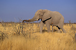 An African elephant forages for leaves in Kenya.