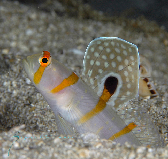 Randall's Prawn Goby (Amblyeleotris randalli) is also called as Sailfin Goby or Orange Stripe Prawn Goby.